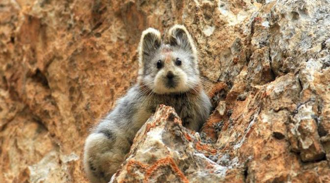 Mammal With Teddy Bear Face Rediscovered