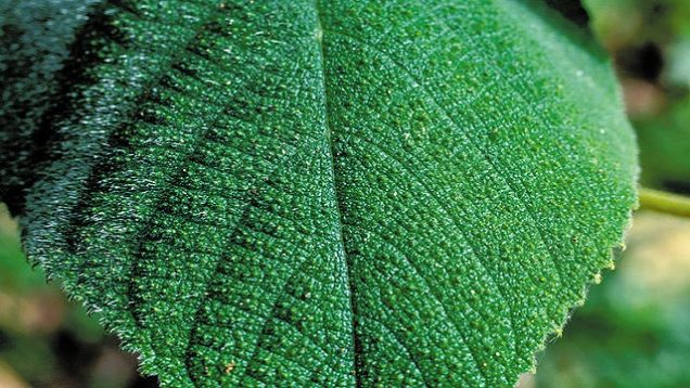 If You Touch This Plant It Will Make You Vomit In Pure Agony