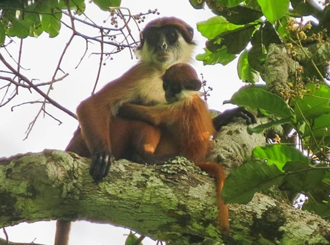 First Ever Picture Taken of a Rare African Monkey