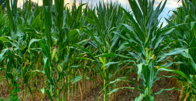 Not All GMO Plants Are Created Equal