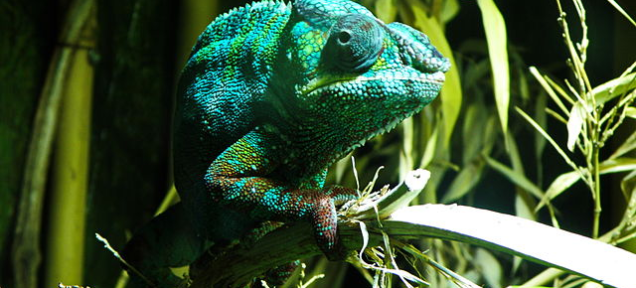 11 Species of Chameleon Masqueraded as One