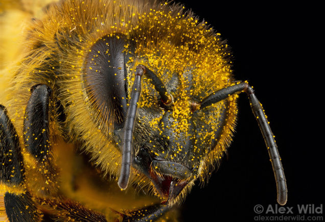 Police Are Trying to Use Honeybees to Detect Illegal Drugs