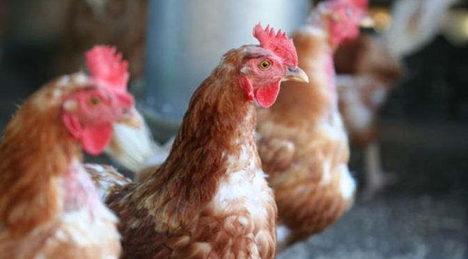 US Bird Flu Outbreak in Poultry: Workers at Higher Risk, CDC Warn