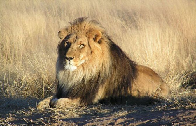 Tourist Killed by Lionness in South African Game Park