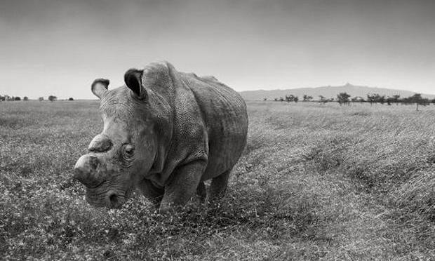 Then There Were 5: Inside the Race to Save the Northern White Rhino