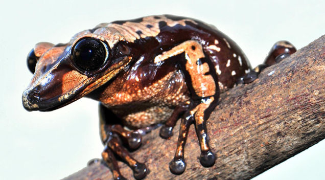Venomous Frogs Use Deadly Face Spines to Slay Their Enemies