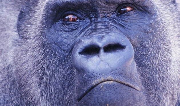 Apes May Be Much Closer To Human Speech Than We Realized