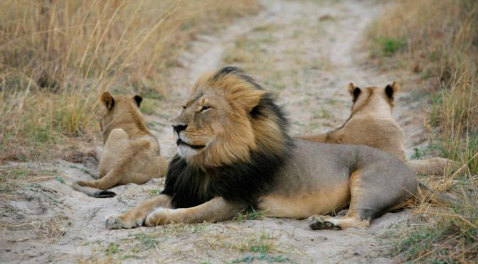 After Exposing Poaching, Lion Expert Exiled