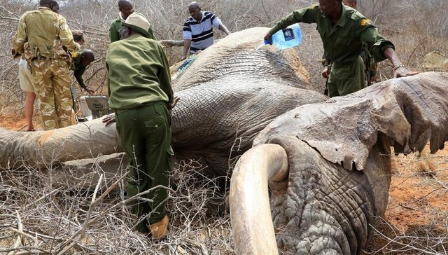 Elephants Shot With Arrows Travel To Humans For Help