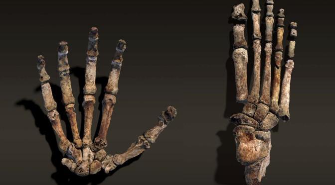 New Ancestor Walked Like Us, Climbed Like Apes