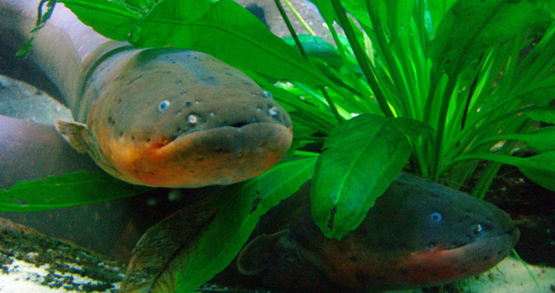The Way Electric Eels Kill | The Fat Cat Collective