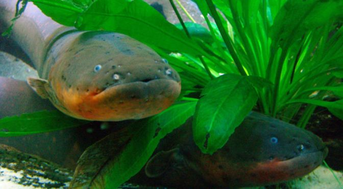 The Way Electric Eels Kill