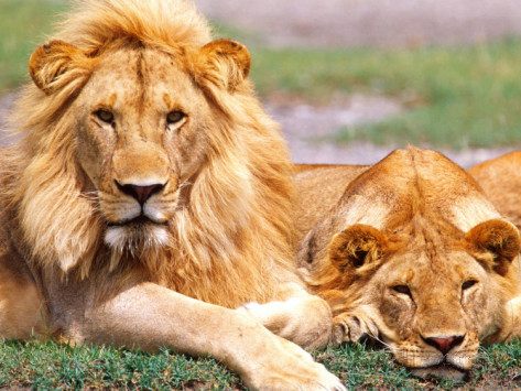 Lions Rapidly Disappearing in Large Parts of Africa, Population Could be Reduced to Half Over the Next Two Decades