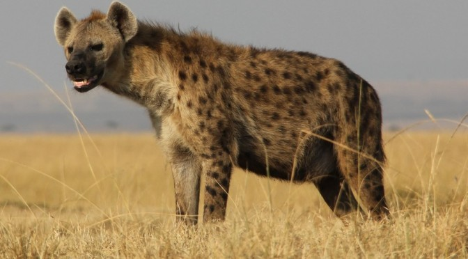 What Hyena Giggles Really Say