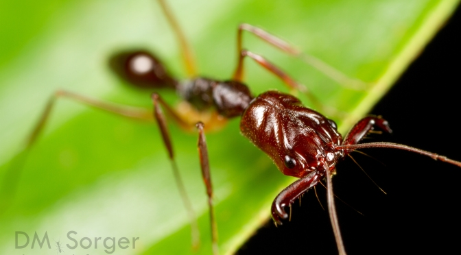 Trap-Jaw Ants Jump with Their Legs, Too