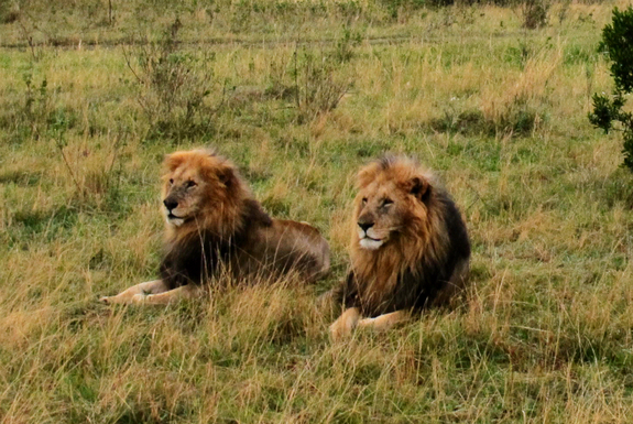Lions Gain New Endangered Species Protections