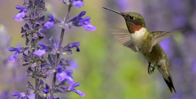 This Is How Hummingbirds Regulate Their Body Temperatures in Flight