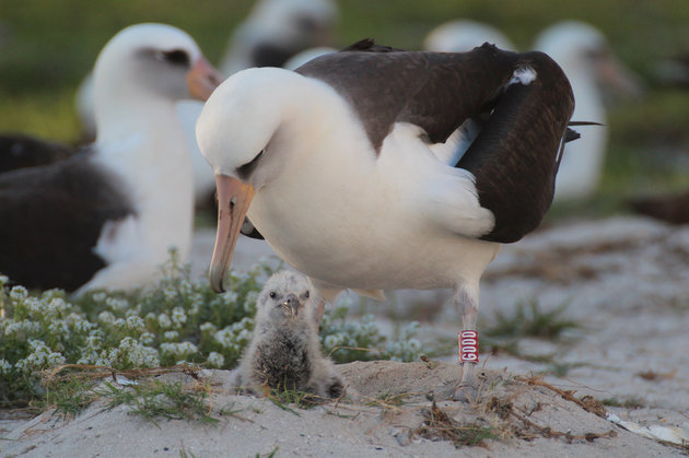 World's Oldest Wild Bird Amazes Scientists By Giving Birth