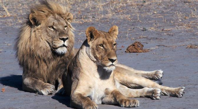 The End of 'Canned' Lion Hunting May Be in Sight