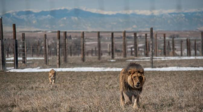 Lions, Tigers, and Bears Find a Home in Colorado