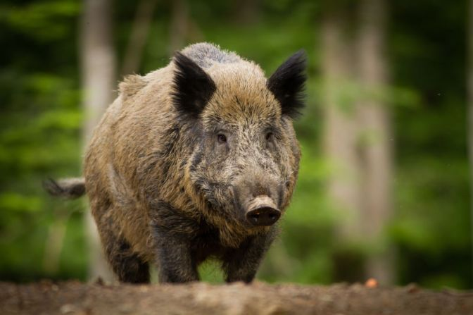 Fukushima Is Now Home To Radioactive Wild Boars