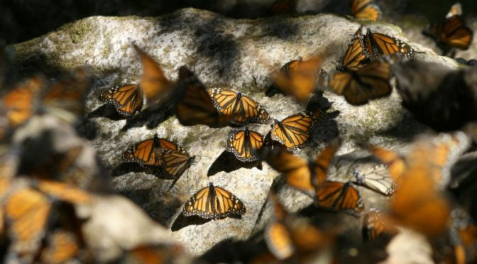 We've Finally Solved the Mystery of How Monarch Butterflies Navigate Thousands of Miles