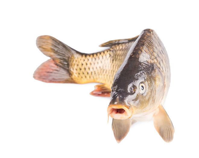 Australia's Surprising Weapon Against Invasive Fish: Herpes
