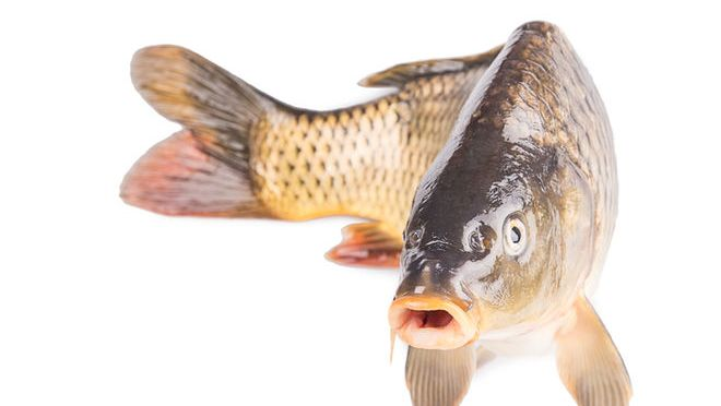 Australia's Surprising Weapon Against Invasive Fish: Herpes