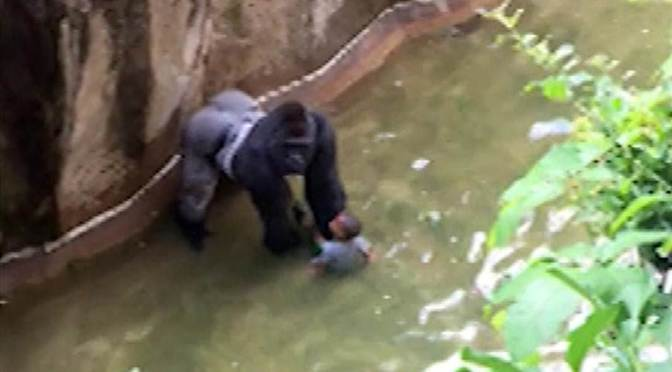 New Video Shows Zoo Gorilla With Boy Before Ape Was Shot Dead