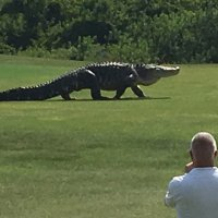 Monster Alligator In Florida Looks Like Something From 'Jurassic Park'