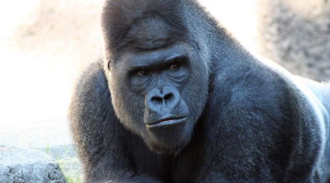 Police Investigating 4-Year-Old's Parents in Death of Gorilla Harambe at Cincinnati Zoo