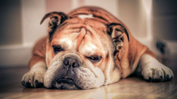 English Bulldogs Have Reached a Genetic Dead End