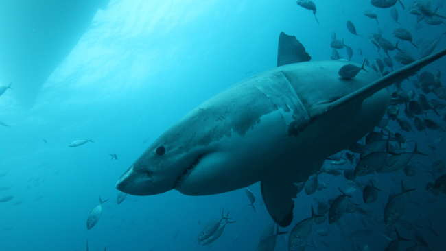 FIRST GREAT WHITE SHARK NURSERY FOUND IN NORTHERN ATLANTIC