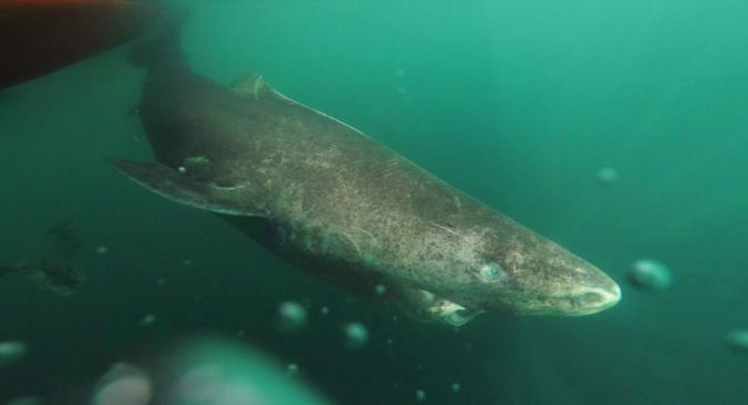 A 400 Year-Old Shark May Hold the Cure to Aging