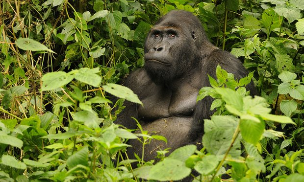 Eastern gorilla now critically endangered due to illegal hunting