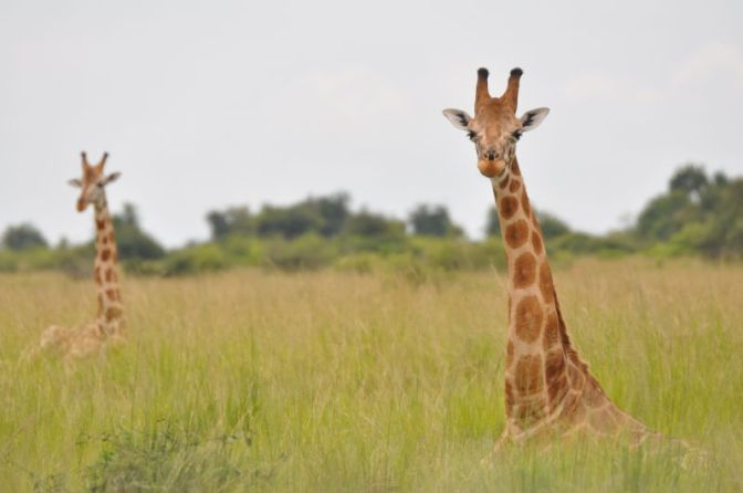 There's More Than One Species of Giraffe