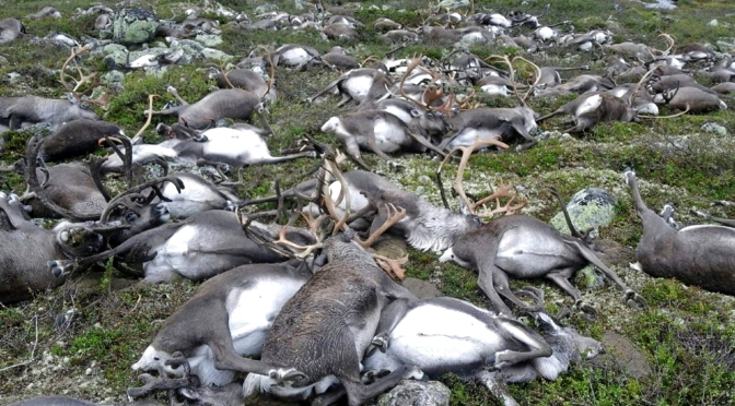 How Lightning Can Kill 300 Reindeer With One Strike