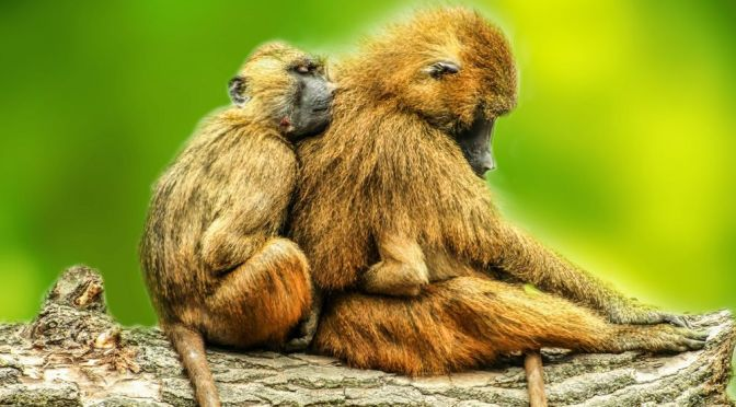 THESE BABOON SHRIEKS COULD PUSH BACK THE EVOLUTION OF SPEECH