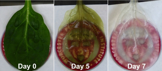 Scientists turn spinach into a farm for human heart cells