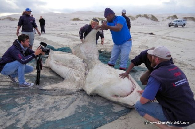 Killer Whales Eat Enormous Great White Shark in South Africa