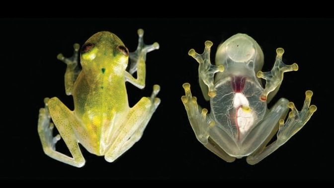 This Frog Is So Transparent You Can See Its Internal Organs