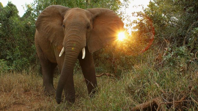 Big Game Hunter Crushed to Death by Elephant