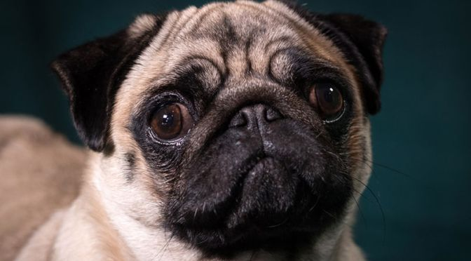 Study Identifies the Likely Genetic Mutation Responsible for Smooshed-Faced Dogs