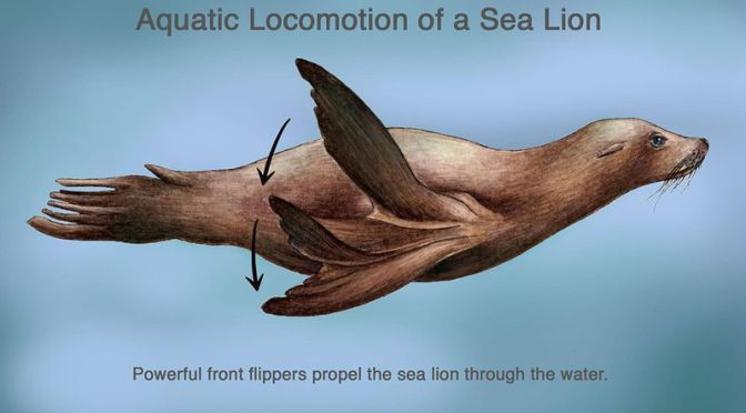 How Do Sea Lions Swim, Glide and Sometimes Even Nab Humans?