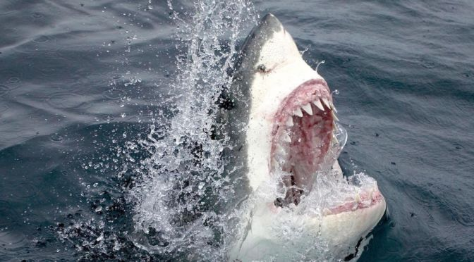 THIS HUNGRY SHARK FEASTING ON A HUMPBACK WHALE IS THE GNARLIEST THING YOU'LL SEE TODAY