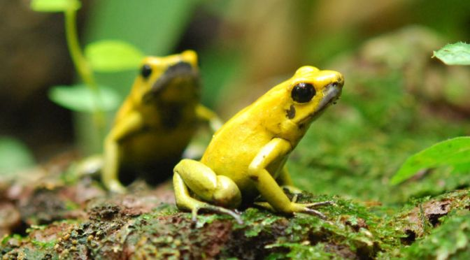 How the Deadliest Frogs on Earth Avoid Poisoning Themselves