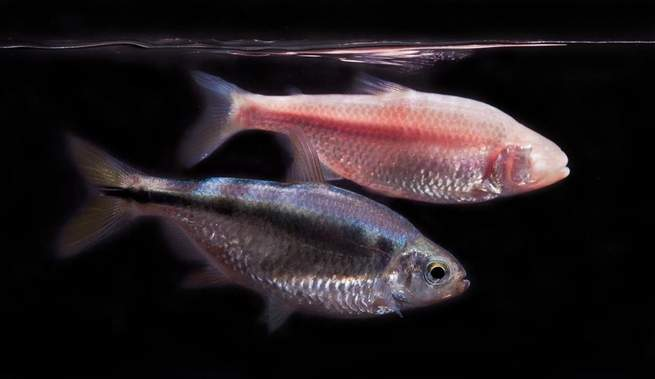 A fish that barely sleeps could help turn humans into all-night party animals