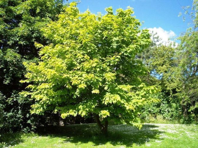 The Mystery of the Sex-Changing Sugar Maple Trees