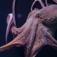 Why Female Octopuses Self-Destruct After Laying Eggs