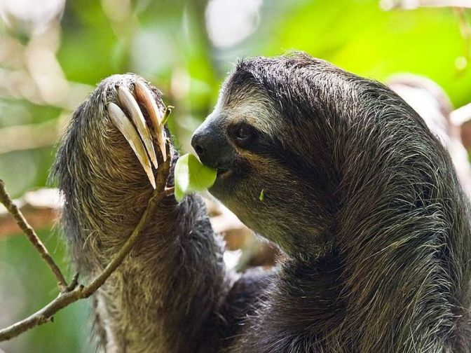 Sloths Don't Just Live in Slow-Mo, They Can Put Their Metabolism On Pause